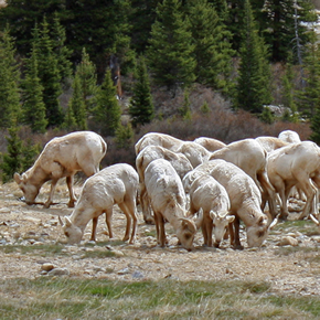 Mountain Sheep on Mosquito Pass